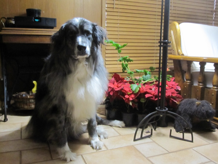 Wrangler among poinsettias 1