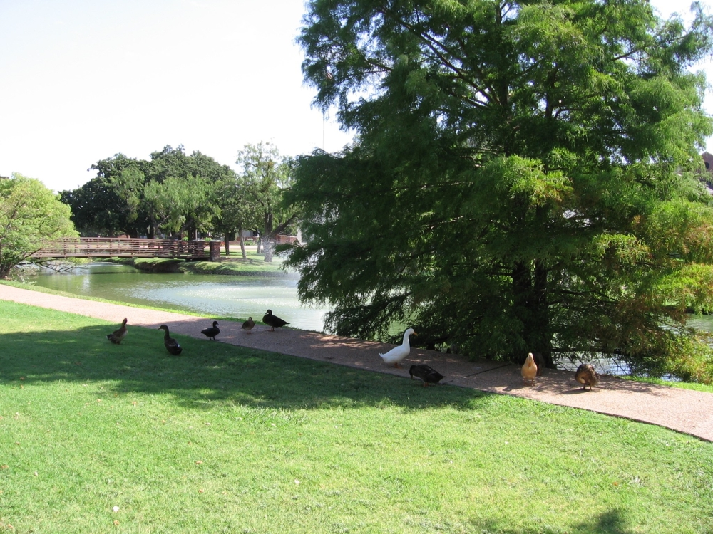 Ducks At The HSU Reflecting Pond, 6 August 2006